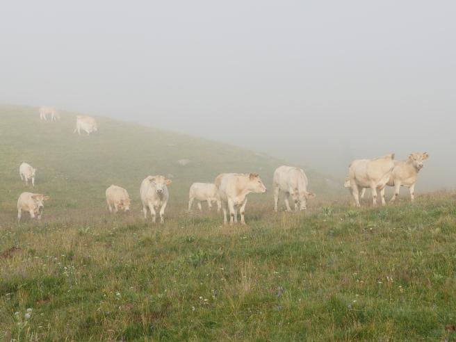 Cowsinhaze